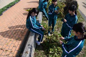 黒豆収穫5